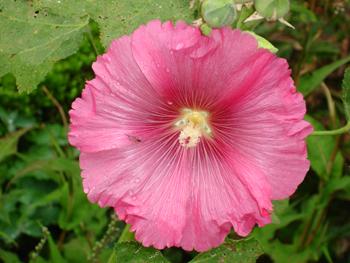 malve_pink.jpg