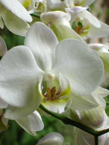 orchidee_weiss.jpg