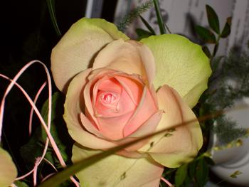 rose_rosa.jpg