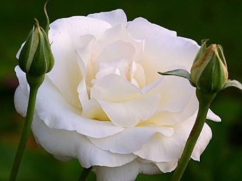 weise-rose1x.jpg