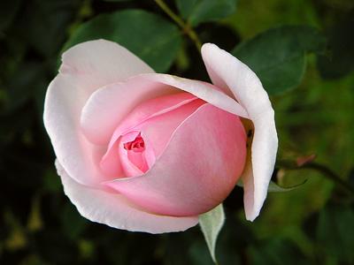 rosarose.jpg