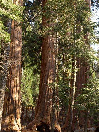 mammutbaum1.jpg
