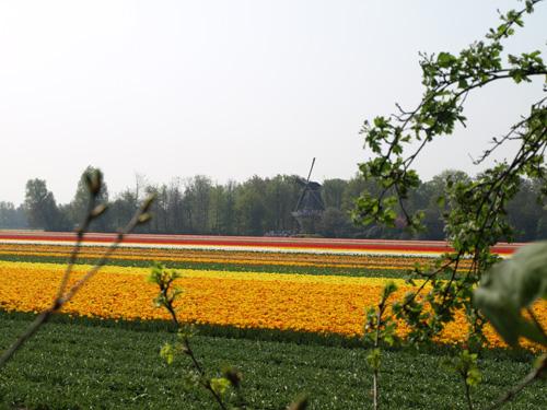 Tulpenfeld am Keukenhof