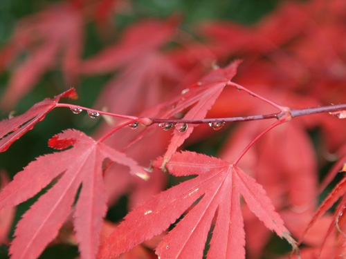 Der jap.Ahorn bekommt im Herbst eine wunderbare rote Farbe